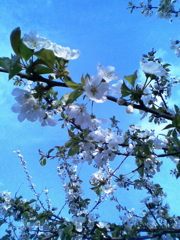 flori de cireş pe un Alt cer senin